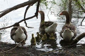 duck and goose photo 2